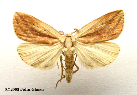 Moths Of Maryland Amolita Fessa